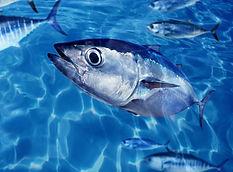 Bluefin tuna Thunnus thynnus fish school