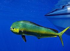 Dorado dolphin fish also known as mahi-m