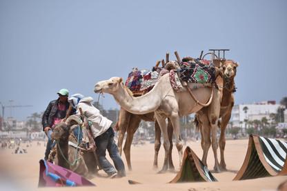 Velbloudář u Essaouira