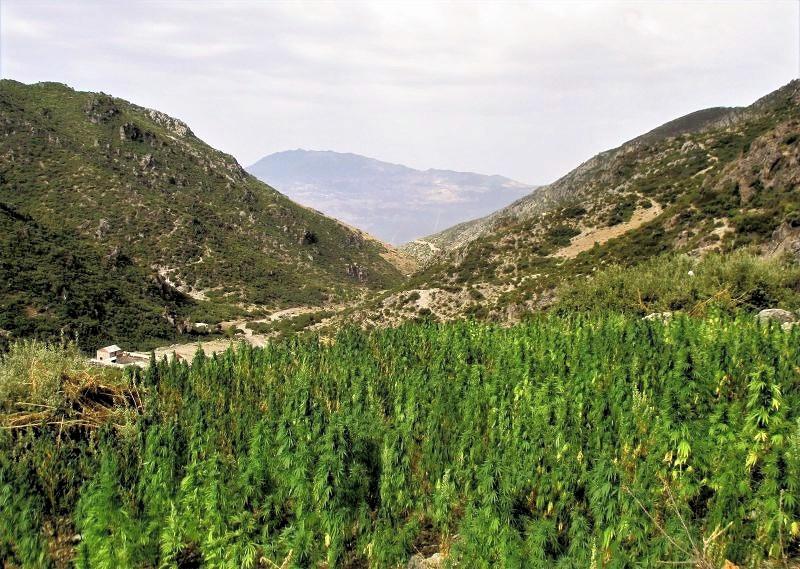 políčko konopí v horách