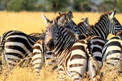 Zebra Stripes - Serengeti