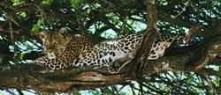 Leopard - Serengeti