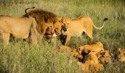 Lion Hunt Serengeti