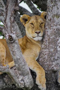 Serengeti - Tree Climbing Lion