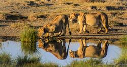 Lion Serengeti