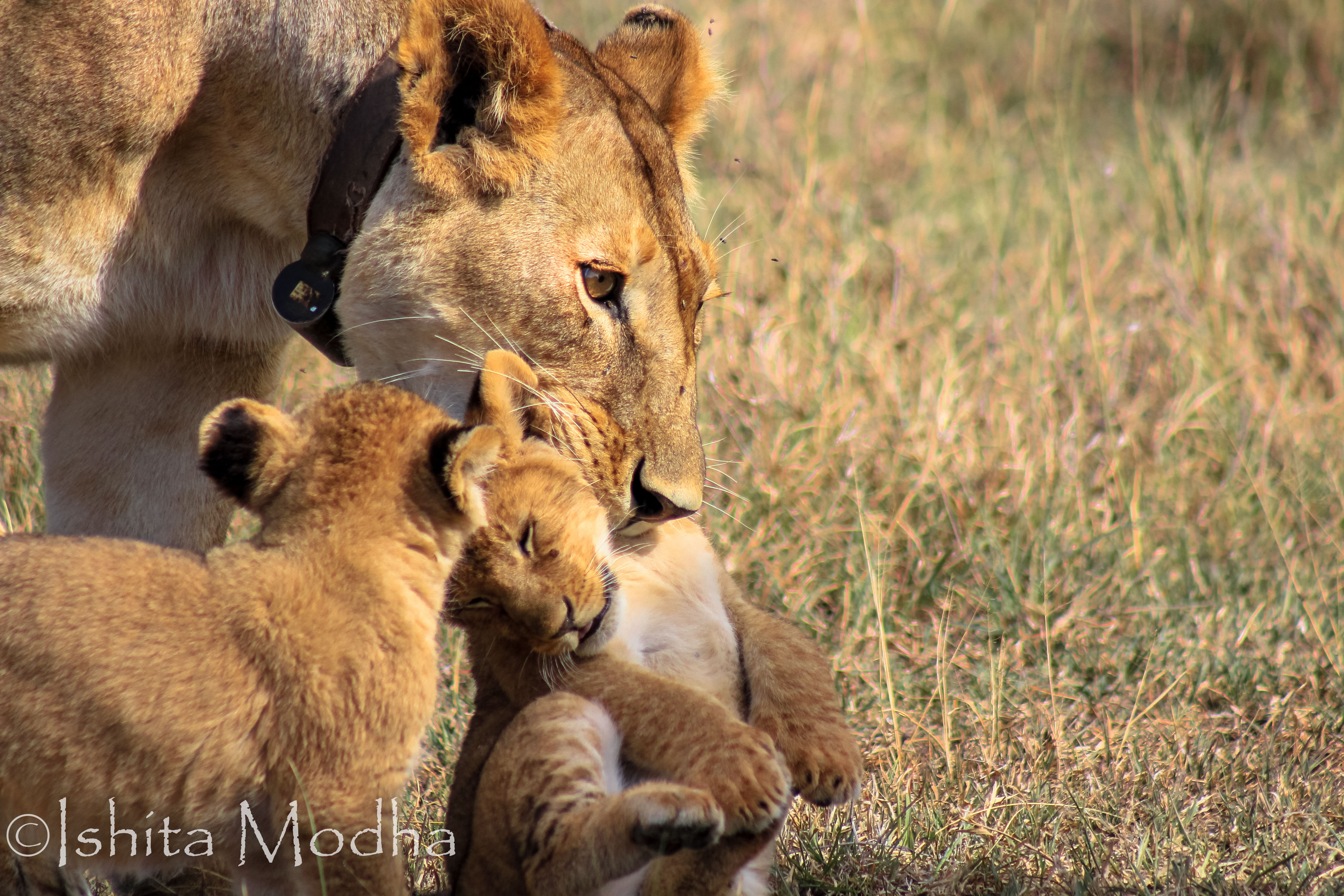 Lioness Cubs
