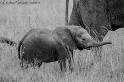 Baby Elephant - Serengeti
