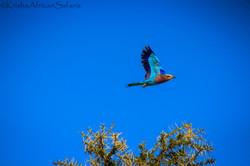 Flight - Serengeti