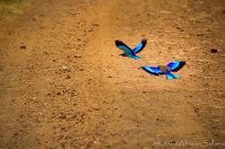 Splash of Color - Serengeti