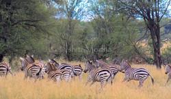 Zebras Running