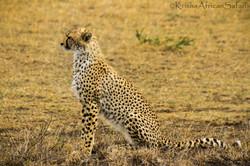 Cheetah Hunt Serengeti