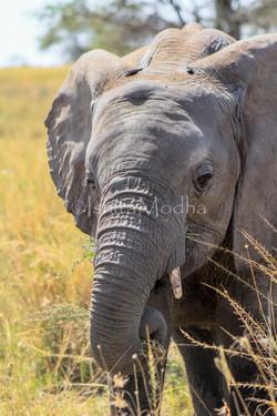 Elephant Ngorongoro
