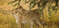 Cheetah-Serengeti-1_edited