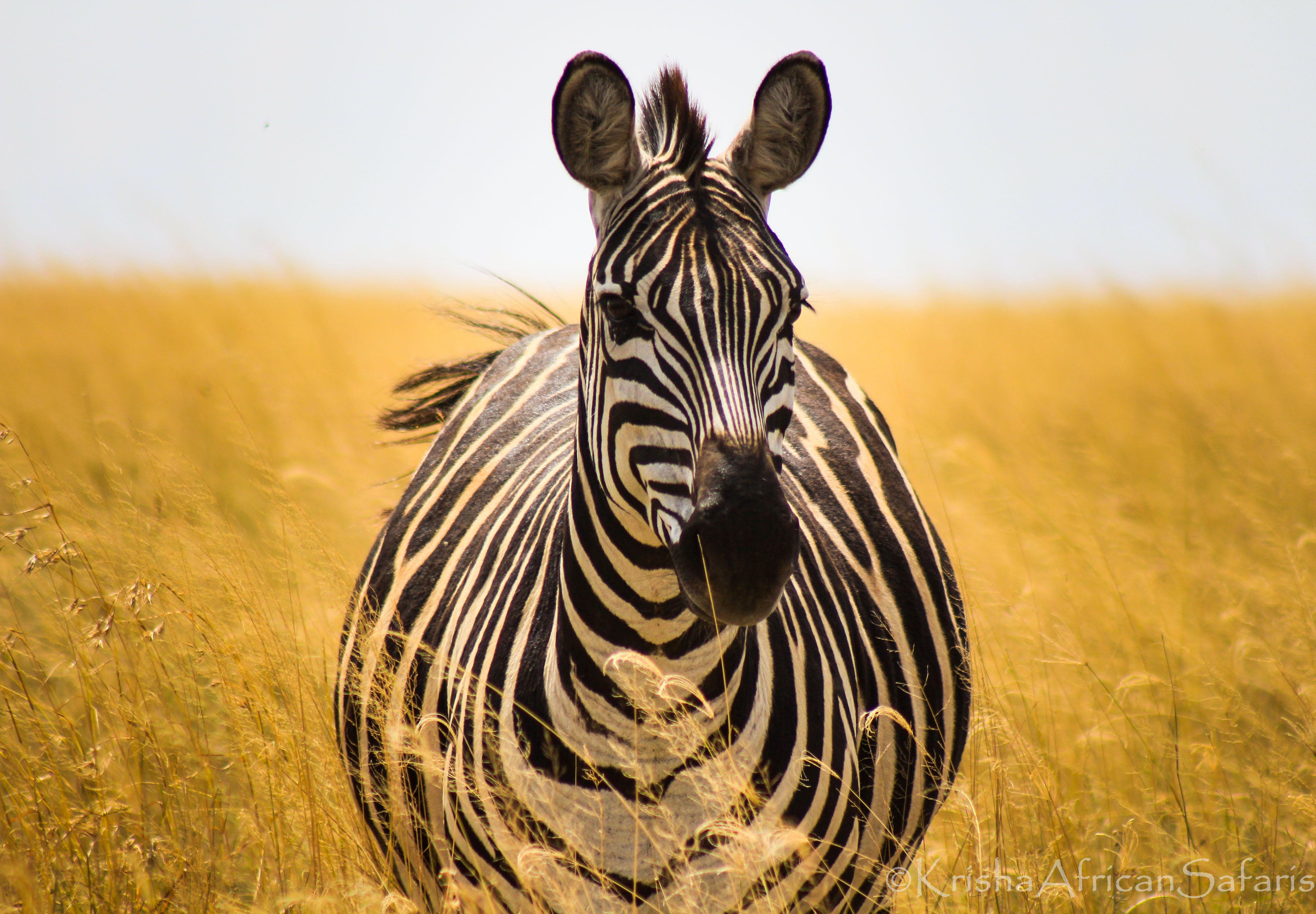 Zebra - Serengeti