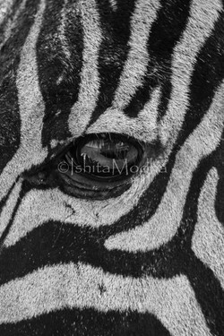 Zebra-Eye