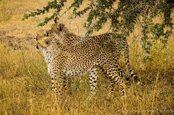 Cheetahs Serengeti