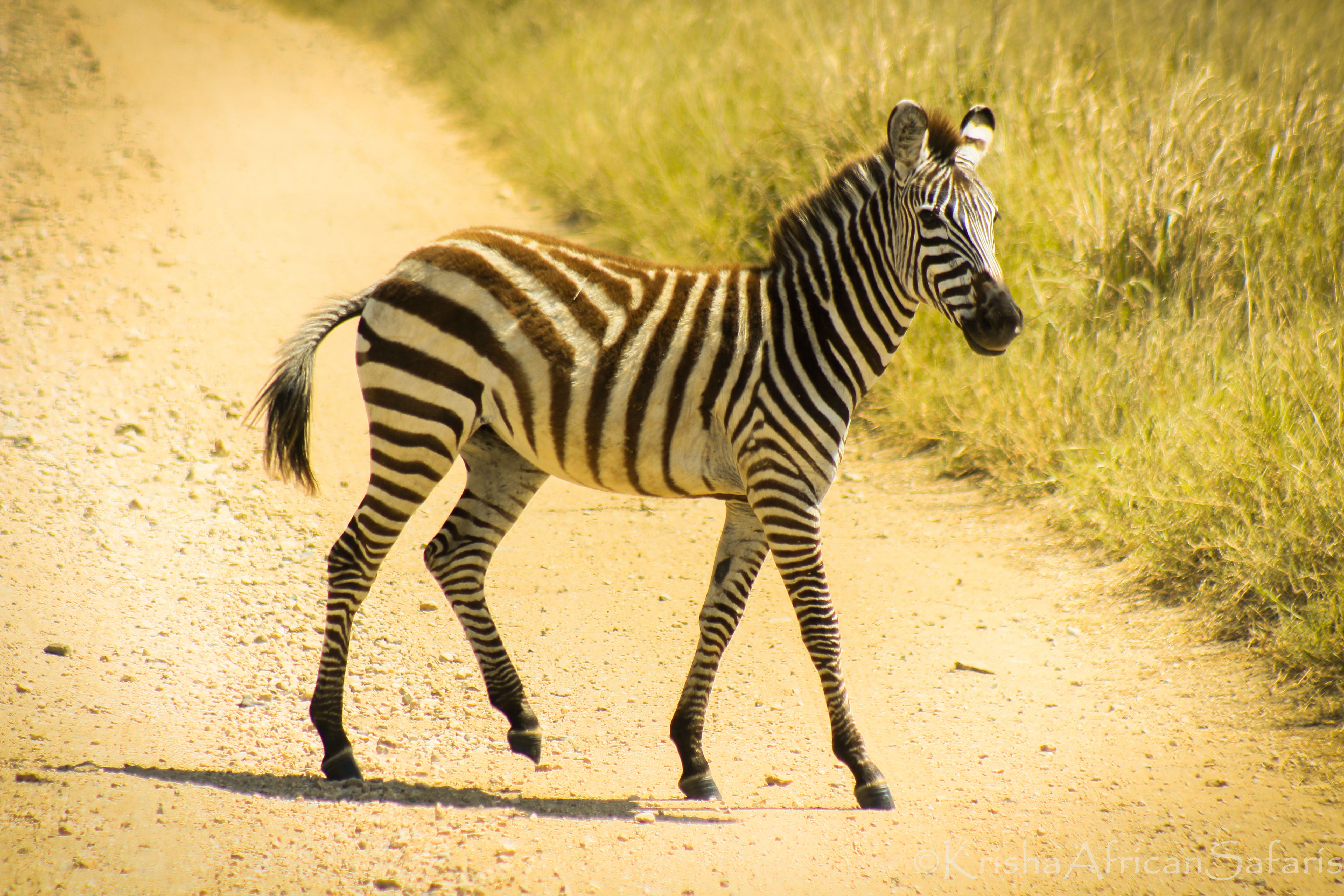 Zebra - Sererngeti