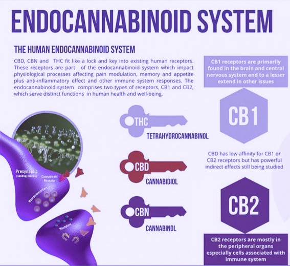 endocannabinoid-system-1030x580_1_1024x1