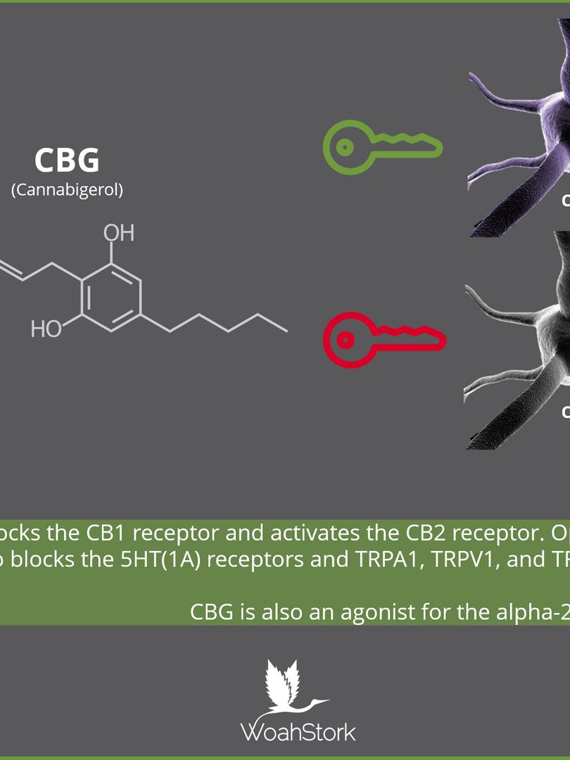 CBG_Endocannabinoid_System_pk2ti5.png