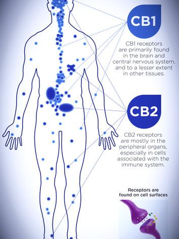 endocannabinoid-system_edited.jpg