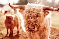 mini cow 8.jpg