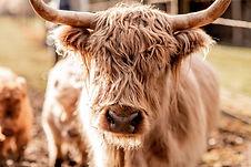 mini cow 7.jpg