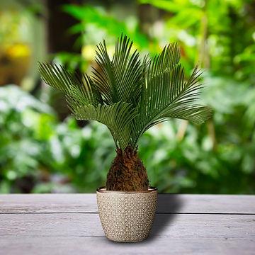 Cycan Palm Tree.jpg