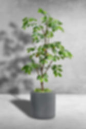 Lemon slim tree.jpg