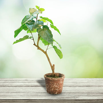 Ficus Umbellata 2.jpg