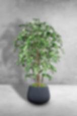 Ficus Benjamina Multi Tree.jpg