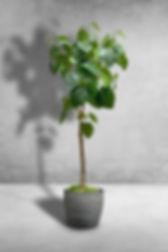 Ficus Umbrellata.jpg