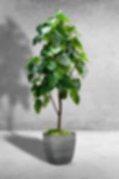 Ficus Umbellata Tree.jpg