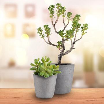Sedium and succulent.jpg