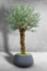 Olive old tree.jpg