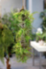 Tillandsia Hanging.jpg