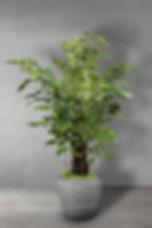 Fishtail tree.jpg