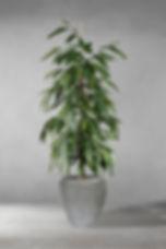 Ficus Alli 02.jpg