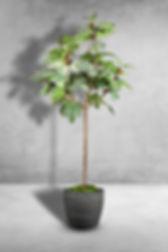 Fig Tree single stem.jpg