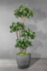 Panda Ficus Multi Tree.jpg