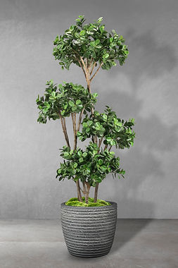 Panda Ficus Multi Tree.jpg