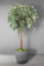 Ficus Benjamina Parasol.jpg