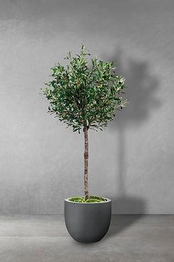 Olive Parasol.jpg