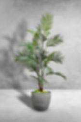 Areca Palm Tree.jpg