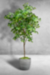 Lemon tree single stem.jpg