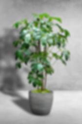 Giant Schefflera Multi Tree.jpg