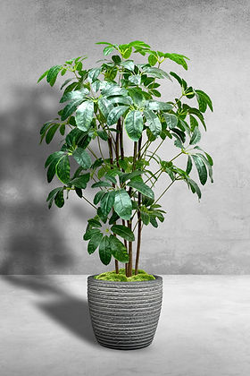 Giant Schefflera Multi Tree.jpg