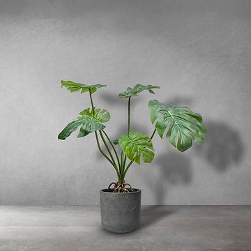 Monsteria Plant.jpg