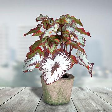 Rax Begonia.jpg
