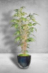 Bamboo Nitida.jpg