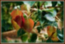 Bodhi Tree Leaves - Frame.JPG